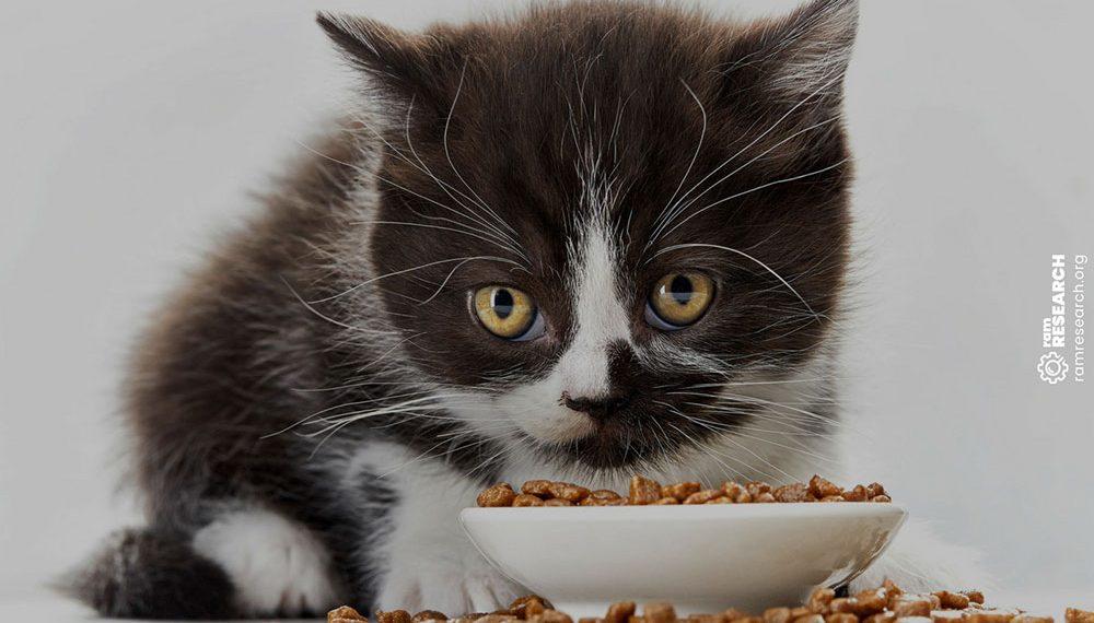 black and white kitten eating kibble