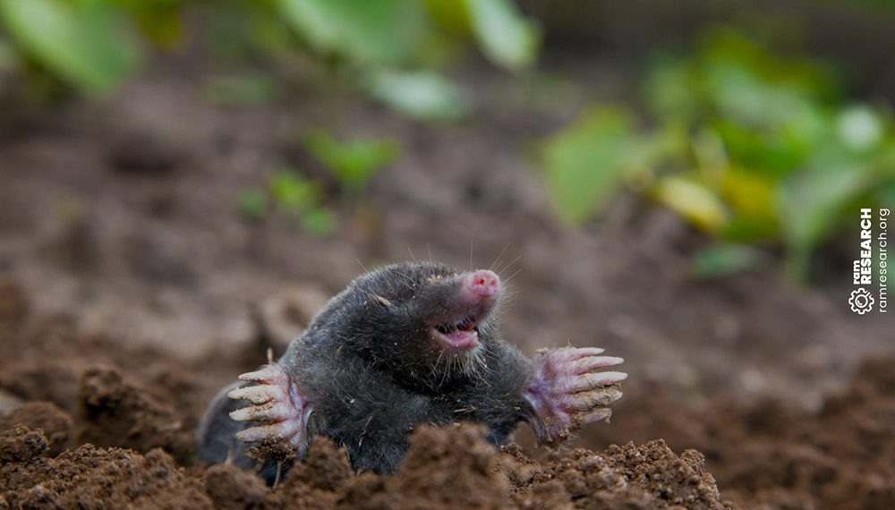 mole sticking out of the dirt
