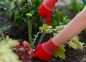 gardener with red gloves pulling weeds