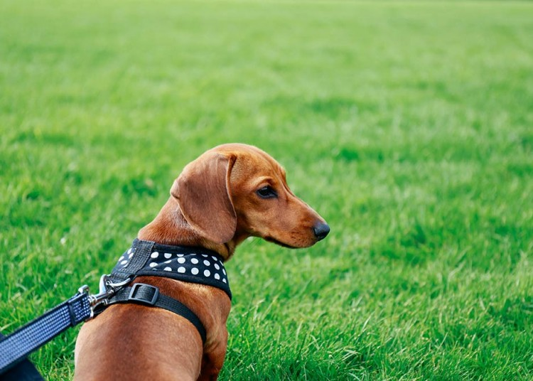 dachshund wearing a harness in the park