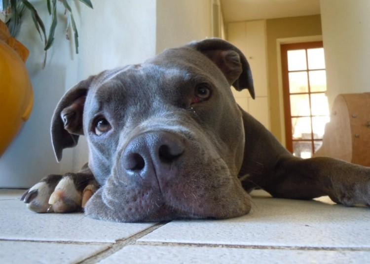 Pitbull-laying-down-inside-house-on tiles